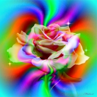 Mix color fo the rose