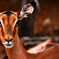 Impala Female