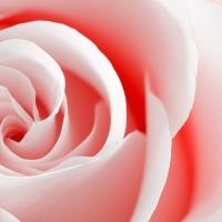 High Key Rose Macro - Red