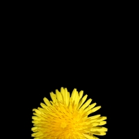 Dandilion Cell Phone Wallpaper
