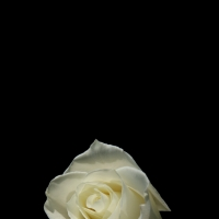 White Rose Cell Phone Wallpaper
