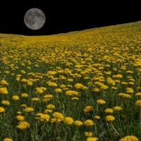 Dandelion Moon 1920 X 1200