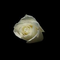 White Rose Wallpaper 1920 X 1200