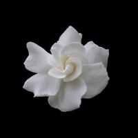 Gardenia 1920 X 1200